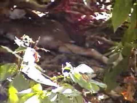 Tigers Eating Prey Tigers Tear Eating Prey in