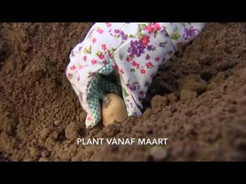 Floralux tuintip: aardappelen planten - YouTube