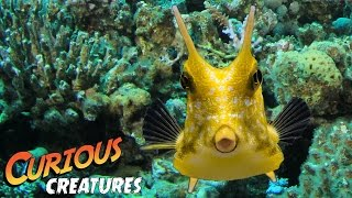 Longhorn Cowfish | Curious Creatures