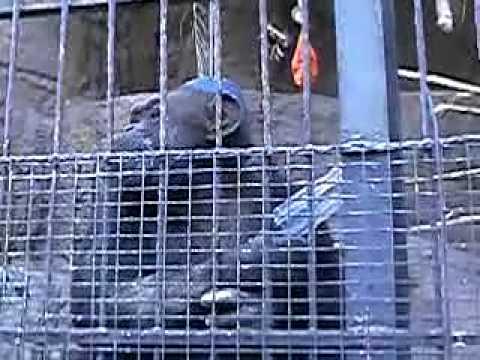 cecilia, la chimpance del zoo de mendoza espera su traslado a un santuario