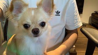 🔴[LIVE#06]3連休のまったりみるくライブ【dog】【puppy】【Chihuahua】【ペット動画】