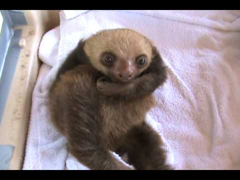The Funniest Baby Sloth Video Ever!!!