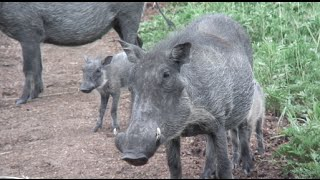 All Warthogs, All the Time