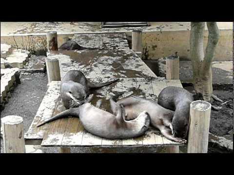 コツメカワウソ一家の挨拶。Small-clawed otter family are greeted.