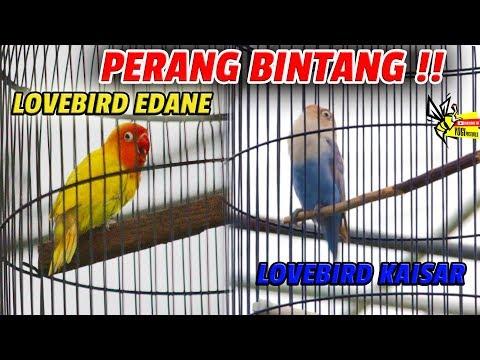 ONE DAY LOVE BIRD : PERANG BINTANG !! Lovebird Konslet Ngekek Panjang EDANE VS  KAISAR