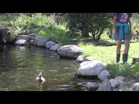 Pīles pirmo reizi tiek  ūdenī