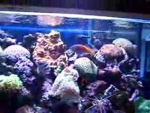 Fairy Wrasse Collection Video