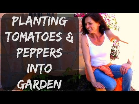 Planting Tomato & Pepper Plants - Organic Gardening Fertilizing Tips