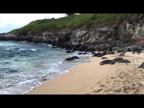 I gots a video of cute turtles of Hawaii from my dad :D
