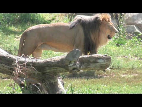 Random African Lion