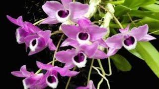 Como plantar Dendrobium?     (Dendrobium parishii)
