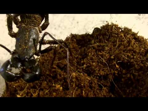 S.alternans (Haitian Giant Centipede) Feeding Attempt + Surprise New Critter!!