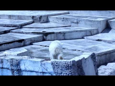 ホッキョクグマ 円山動物園 ララの赤ちゃん 走ってこける 20110430