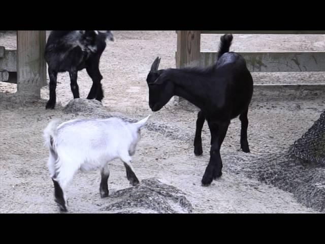 Central Florida Zoo Goats