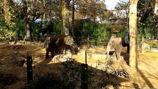 At the Antwerp Belgium Zoo Elephants playing together