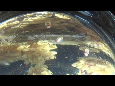 Giant Pacific Octopuses hatching in the MaST Center lab