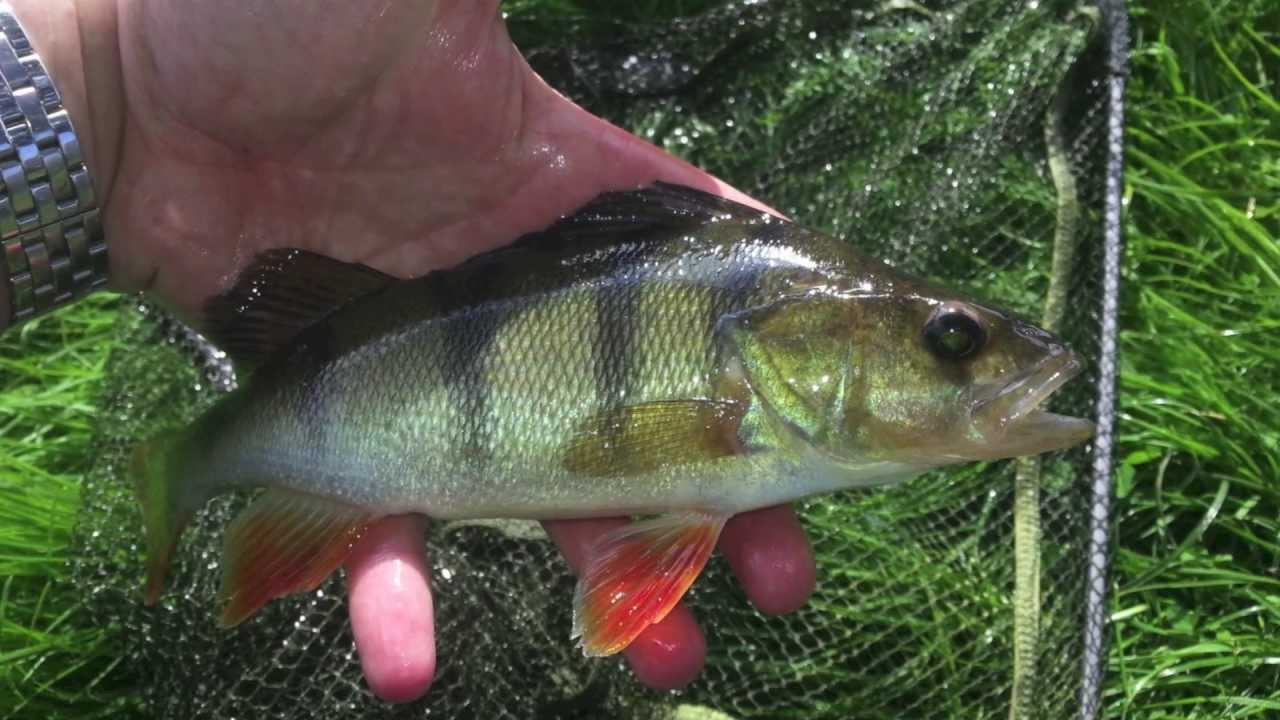Best lures for catching perch top 10 youtube for Best bait to catch fish