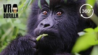 Meet The Mountain Gorillas (360 VR Video 4k)
