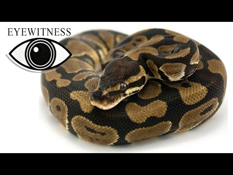 EYEWITNESS | Reptile | S1E11