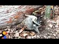 Raccoon Stuck Under Fallen Tree Rescued By Great Guys The Dodo mp3