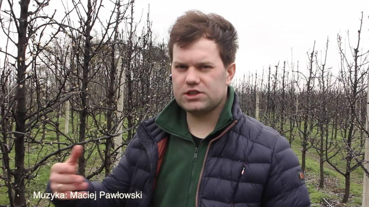 uprawa gruszek, forum sadownicze, miodówka gruszowa
