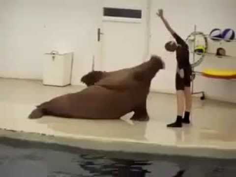 Seal Animal Exercise With Girl Amazing Video video