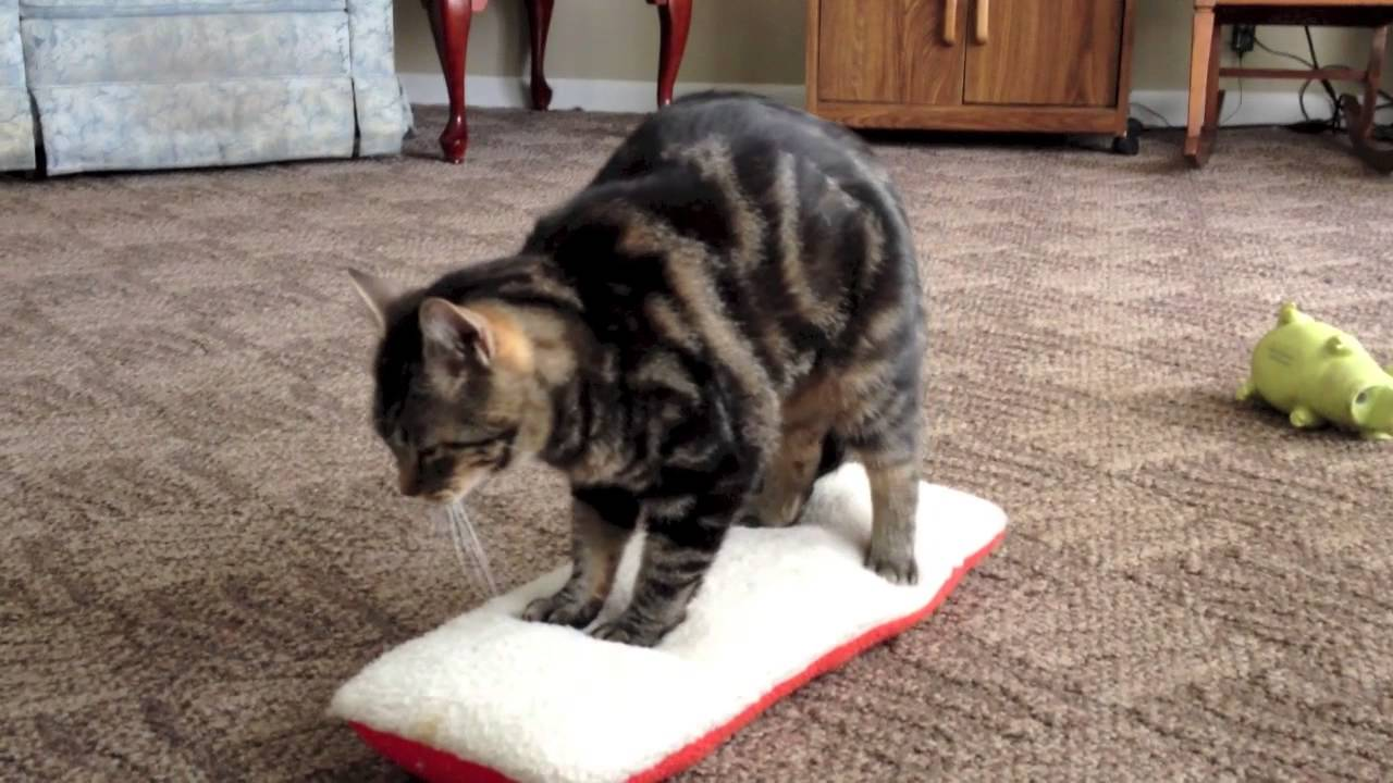 cat training videos dailymotion