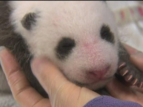 Baby panda cub gets health check in San Diego Zoo (Kölyök panda)