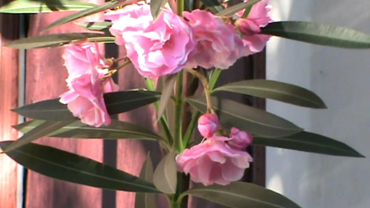 Олеандр выращивание и уход в домашних условиях  708