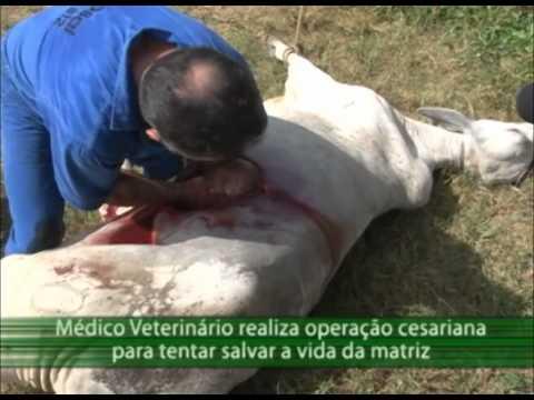 Programa Acre Rural  - Médico veterinário realiza operação cesariana em vaca.f4v