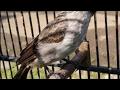 Suara Burung Kutilang Emas Gacor Untuk Pikat Dan Masteran Burung