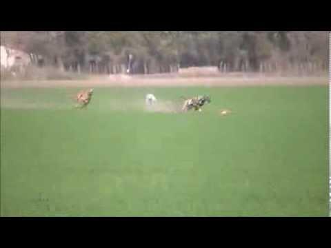 galgos cazando liebres