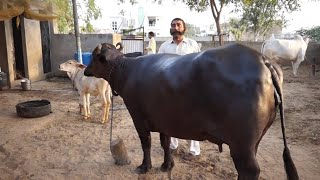 Murrah Buffaloes for Sale near Hisar | Naseeb Singh Muchal | Village - Satrod |