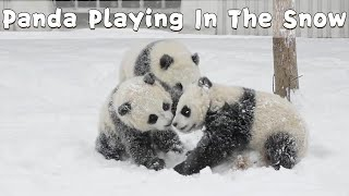 Panda Cubs Playing In The Snow | iPanda