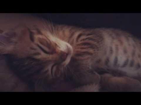 【子猫】寝ながら喋る子猫【むにゃむにゃ】