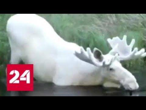 Ученые ищут белого лося в Швеции