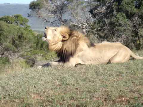 Lion Roaring In The Wild video