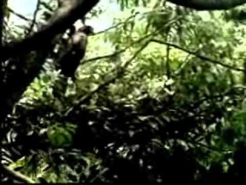 【陽明山國家公園管理處】草山鷹飛-大冠鷲育幼 (一)