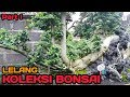 Lelang koleksi bonsai dan bahan bonsai Part l