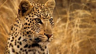 Young Leopard Steals Kill From Mother - Africa - BBC Earth
