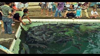 Misteri Ikan Dewa Ikan Keramat Di Indonesia On The Spot Trans 7 Terbaru Februari 2017
