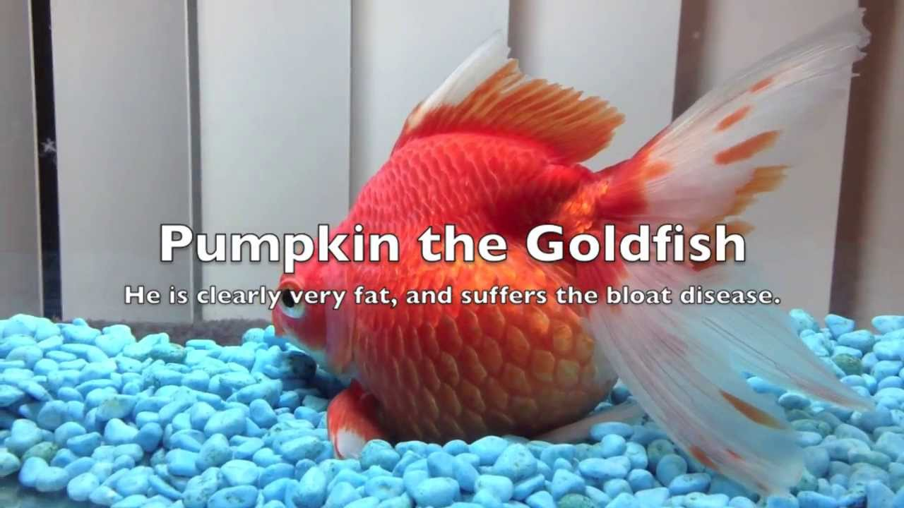 My extremely fat goldfish really fat youtube for Cholesterol in fish