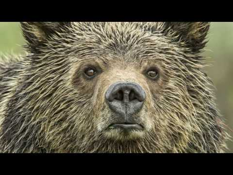 KEEP GRIZZLIES PROTECTED: YELLOWSTONE'S GRIZZLY SCIENCE