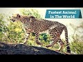 Top 10 Fastest Animal in The World || Top 10 Ridiculously Fast Animals