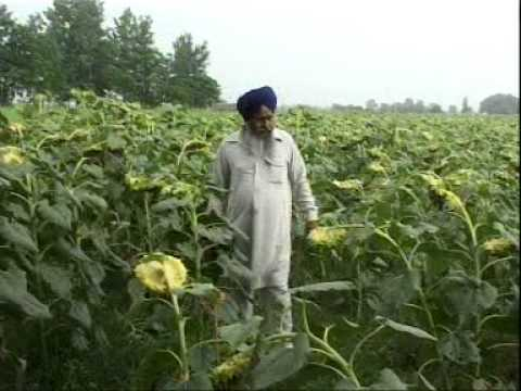 Punjabi  Sadabahar Kheti