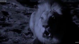 Lions Attack Elephant | Planet Earth | BBC Earth