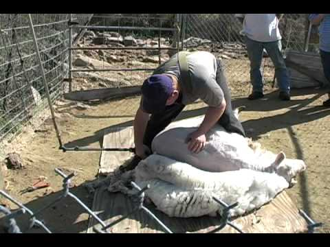 Sheep Shearing for wool