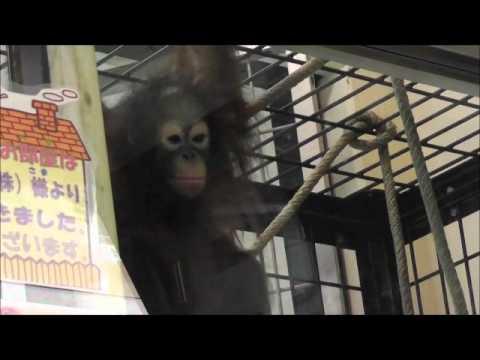 2011年7月24日 釧路市動物園 オランウータン ひなちゃん