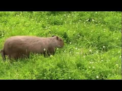 Les capybaras au Parc Animalier du Moulin Rouge