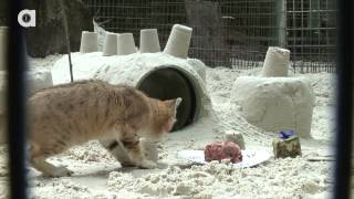 Sand Cat Birthday Party!